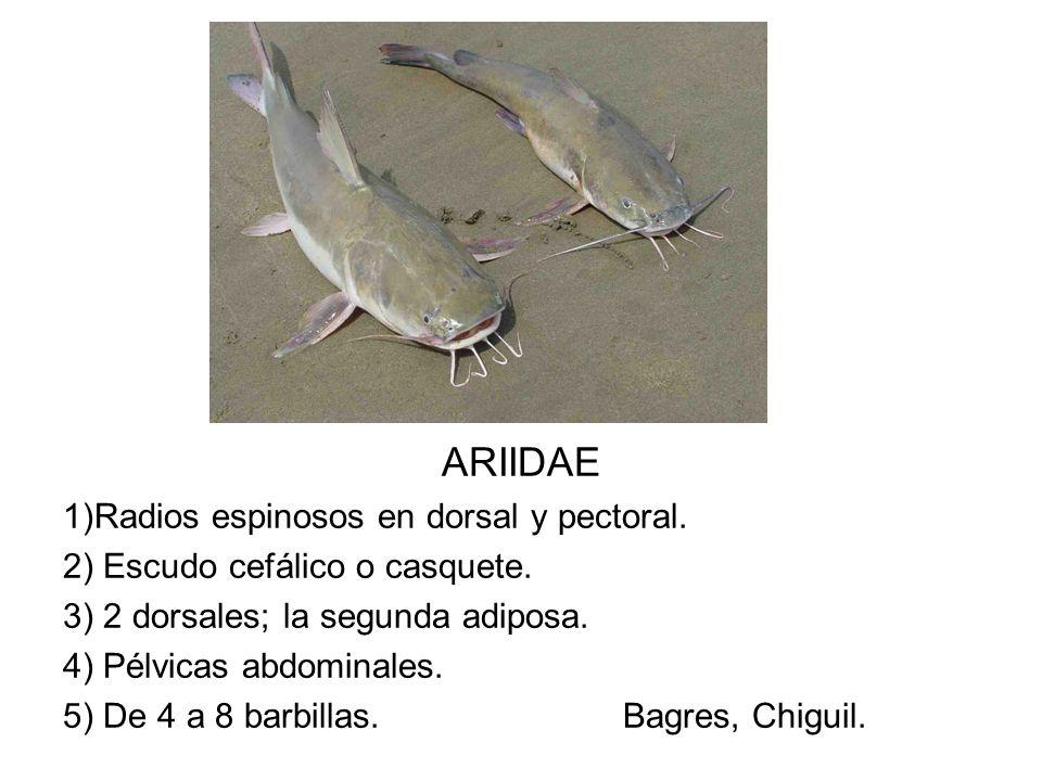 ARIIDAE 1)Radios espinosos en dorsal y pectoral.