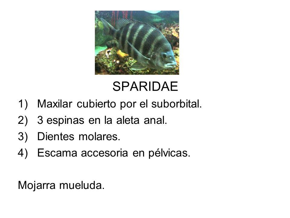 SPARIDAE Maxilar cubierto por el suborbital.