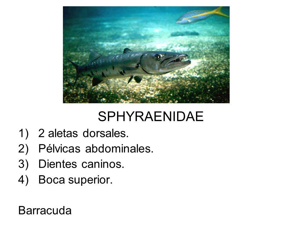 SPHYRAENIDAE 2 aletas dorsales. Pélvicas abdominales. Dientes caninos.