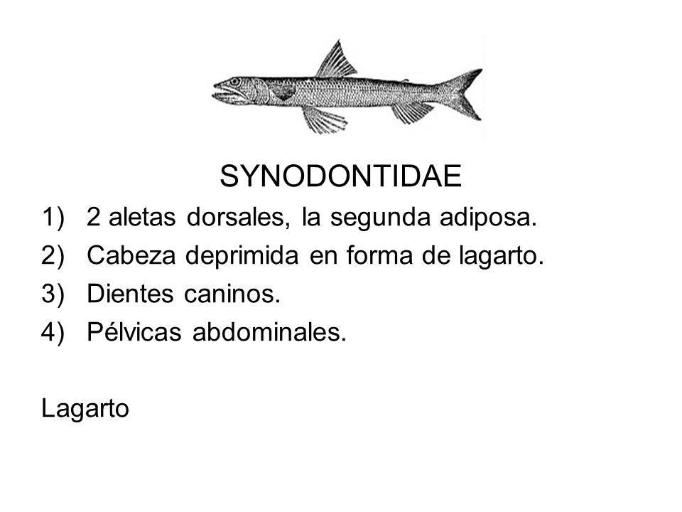 SYNODONTIDAE 2 aletas dorsales, la segunda adiposa.