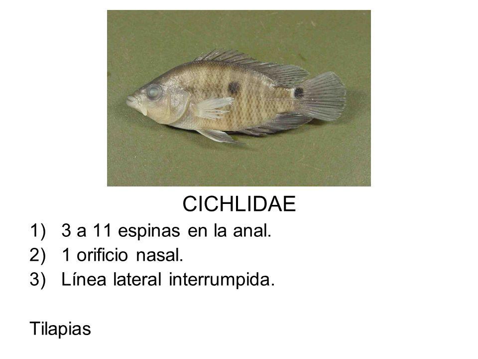 CICHLIDAE 3 a 11 espinas en la anal. 1 orificio nasal.