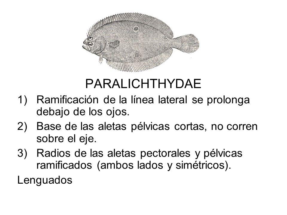 PARALICHTHYDAE Ramificación de la línea lateral se prolonga debajo de los ojos. Base de las aletas pélvicas cortas, no corren sobre el eje.