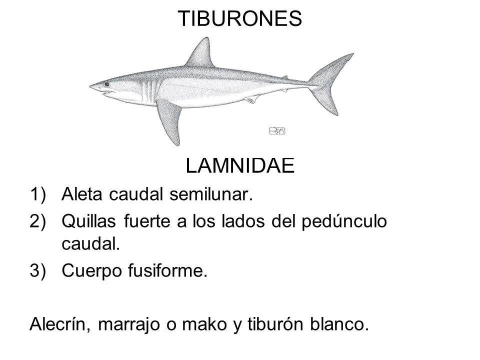 TIBURONES LAMNIDAE Aleta caudal semilunar.