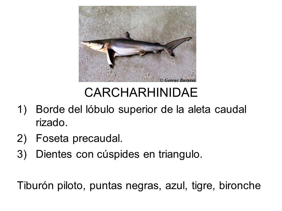 CARCHARHINIDAE Borde del lóbulo superior de la aleta caudal rizado.