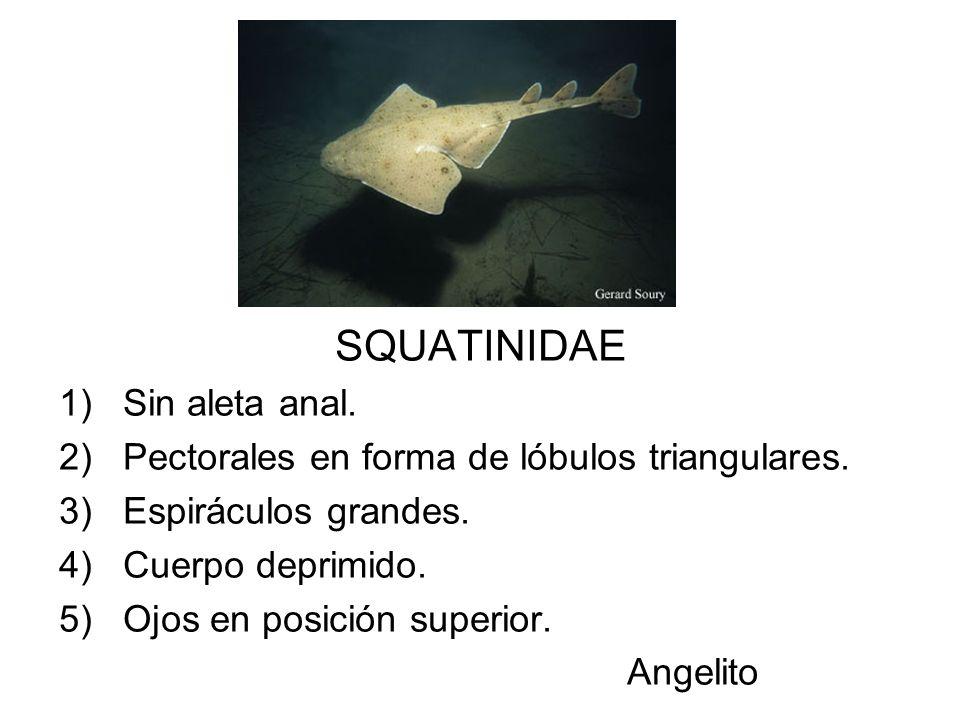 SQUATINIDAE Sin aleta anal.