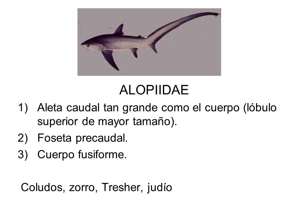 ALOPIIDAE Aleta caudal tan grande como el cuerpo (lóbulo superior de mayor tamaño). Foseta precaudal.
