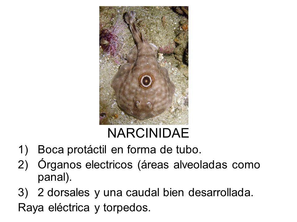 NARCINIDAE Boca protáctil en forma de tubo.