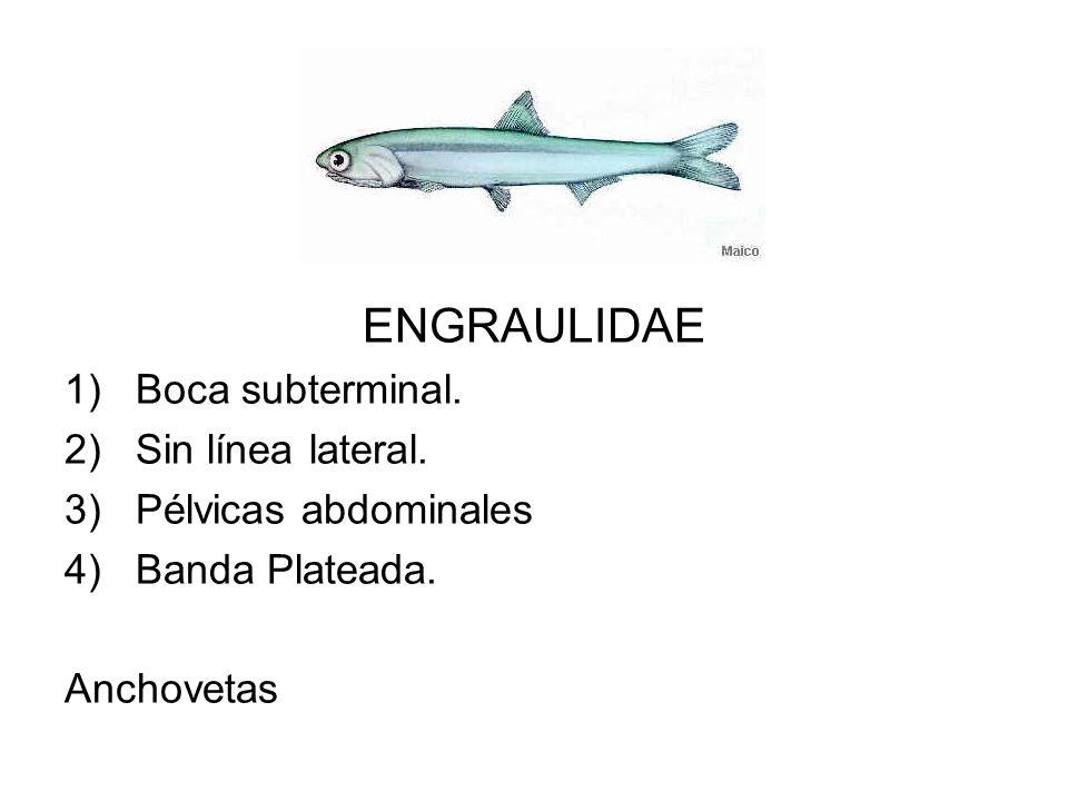 ENGRAULIDAE Boca subterminal. Sin línea lateral. Pélvicas abdominales