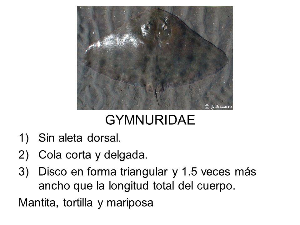 GYMNURIDAE Sin aleta dorsal. Cola corta y delgada.