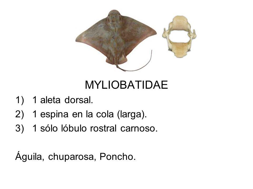 MYLIOBATIDAE 1 aleta dorsal. 1 espina en la cola (larga).