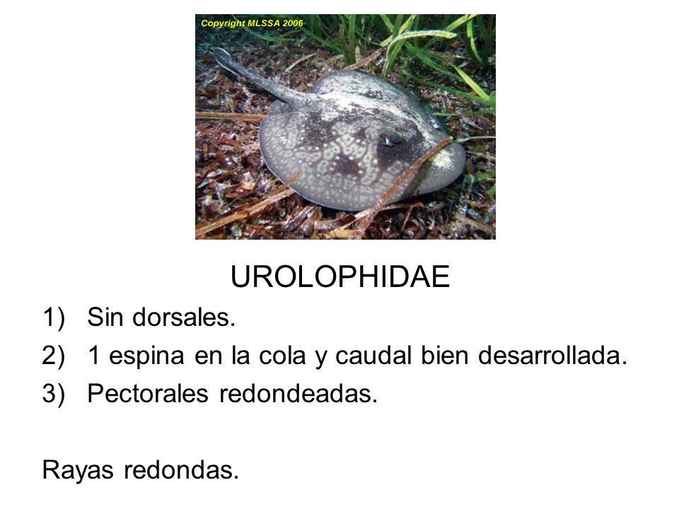 UROLOPHIDAE Sin dorsales.