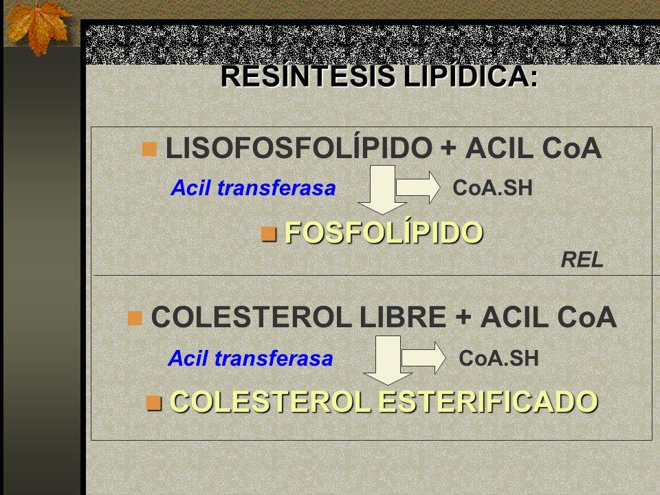 LISOFOSFOLÍPIDO + ACIL CoA FOSFOLÍPIDO COLESTEROL LIBRE + ACIL CoA