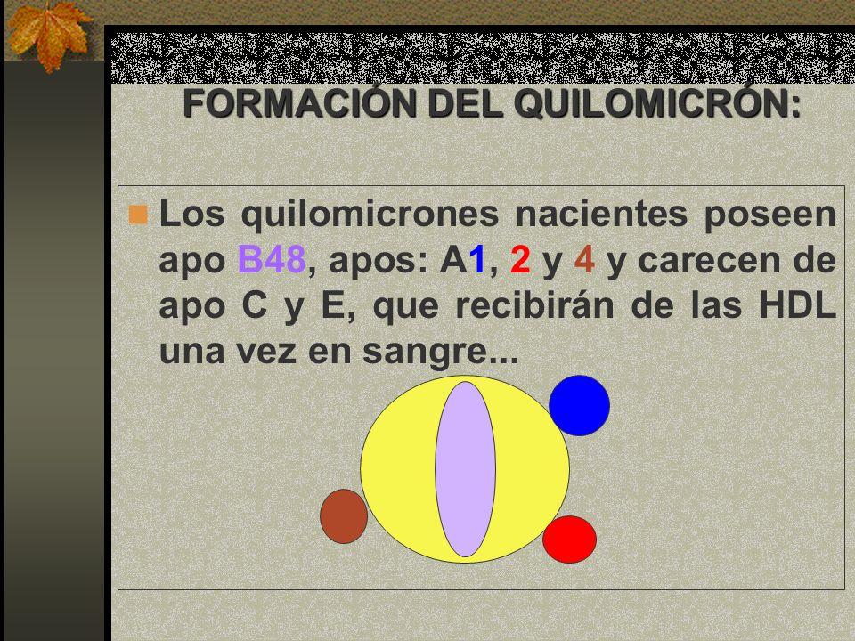 FORMACIÓN DEL QUILOMICRÓN: