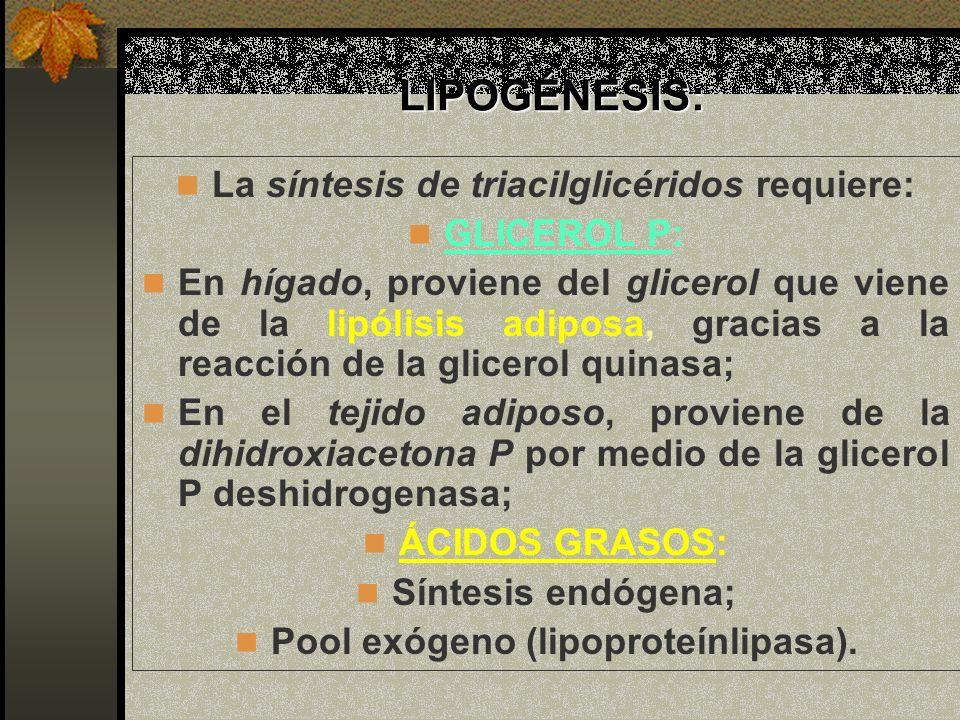 LIPOGÉNESIS: La síntesis de triacilglicéridos requiere: GLICEROL P: