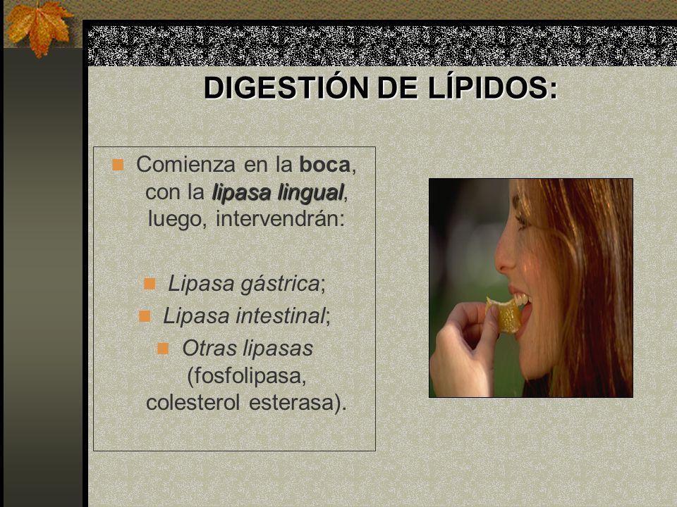 DIGESTIÓN DE LÍPIDOS: Comienza en la boca, con la lipasa lingual, luego, intervendrán: Lipasa gástrica;