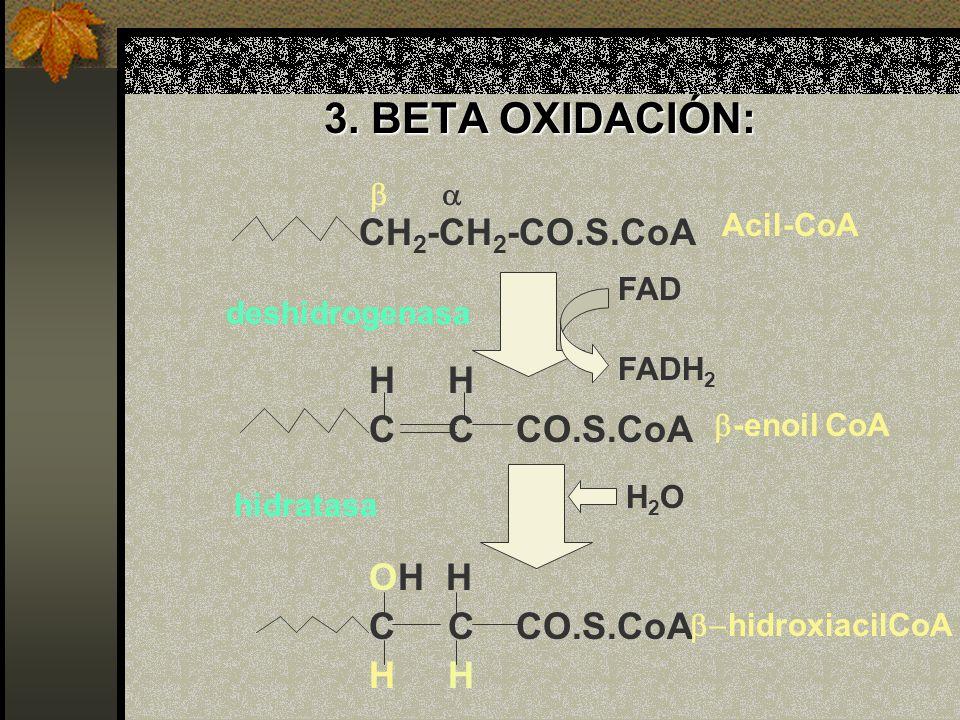 3. BETA OXIDACIÓN: CH2-CH2-CO.S.CoA H H C C CO.S.CoA OH H b a Acil-CoA
