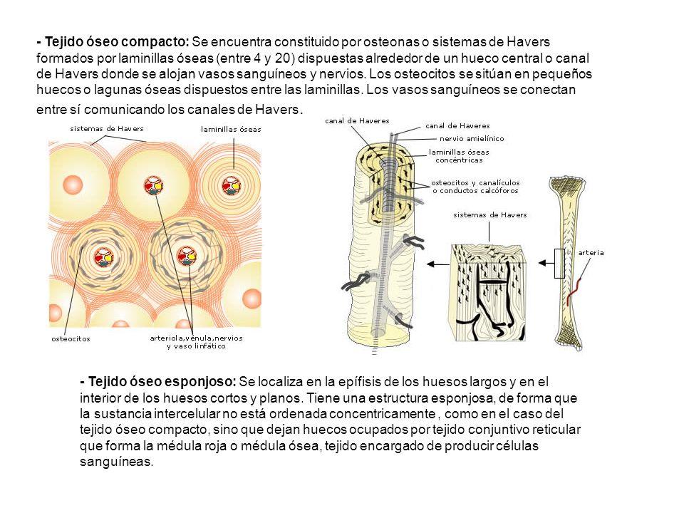 - Tejido óseo compacto: Se encuentra constituido por osteonas o sistemas de Havers formados por laminillas óseas (entre 4 y 20) dispuestas alrededor de un hueco central o canal de Havers donde se alojan vasos sanguíneos y nervios. Los osteocitos se sitúan en pequeños huecos o lagunas óseas dispuestos entre las laminillas. Los vasos sanguíneos se conectan entre sí comunicando los canales de Havers.