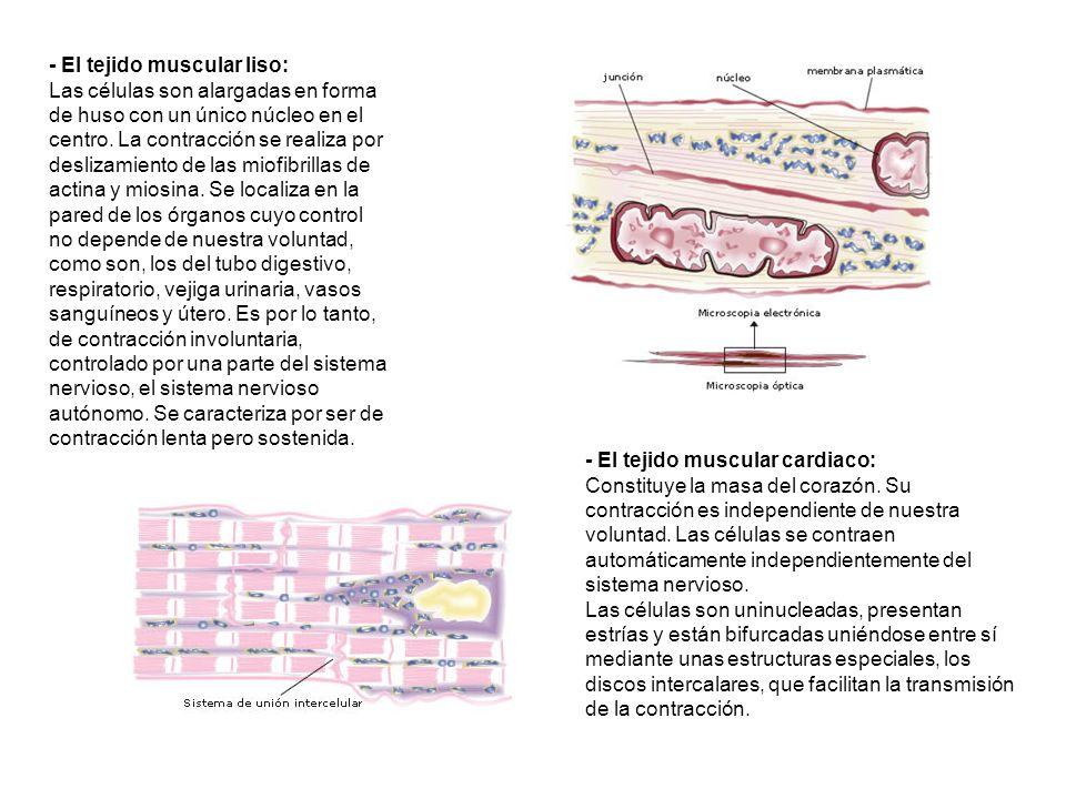 - El tejido muscular liso: Las células son alargadas en forma de huso con un único núcleo en el centro. La contracción se realiza por deslizamiento de las miofibrillas de actina y miosina. Se localiza en la pared de los órganos cuyo control no depende de nuestra voluntad, como son, los del tubo digestivo, respiratorio, vejiga urinaria, vasos sanguíneos y útero. Es por lo tanto, de contracción involuntaria, controlado por una parte del sistema nervioso, el sistema nervioso autónomo. Se caracteriza por ser de contracción lenta pero sostenida.