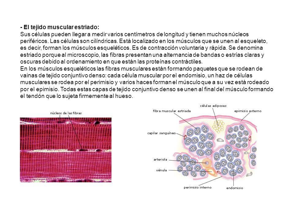 - El tejido muscular estriado: Sus células pueden llegar a medir varios centímetros de longitud y tienen muchos núcleos periféricos.
