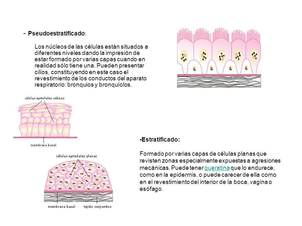 - Pseudoestratificado: Los núcleos de las células están situados a diferentes niveles dando la impresión de estar formado por varias capas cuando en realidad sólo tiene una. Pueden presentar cilios, constituyendo en este caso el revestimiento de los conductos del aparato respiratorio: bronquios y bronquíolos.