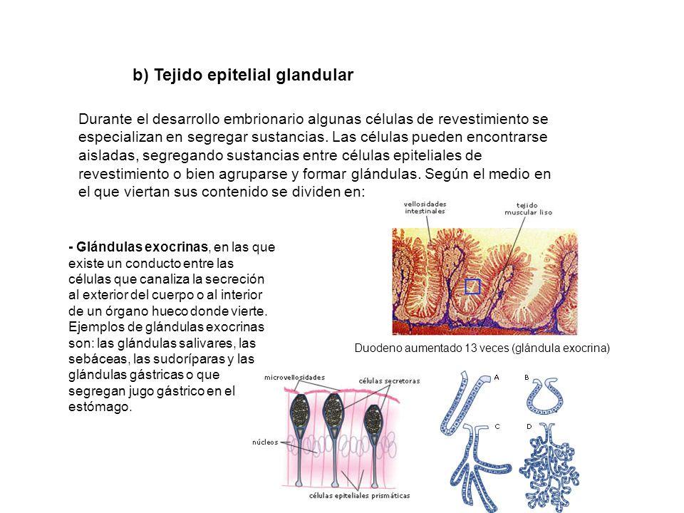 b) Tejido epitelial glandular