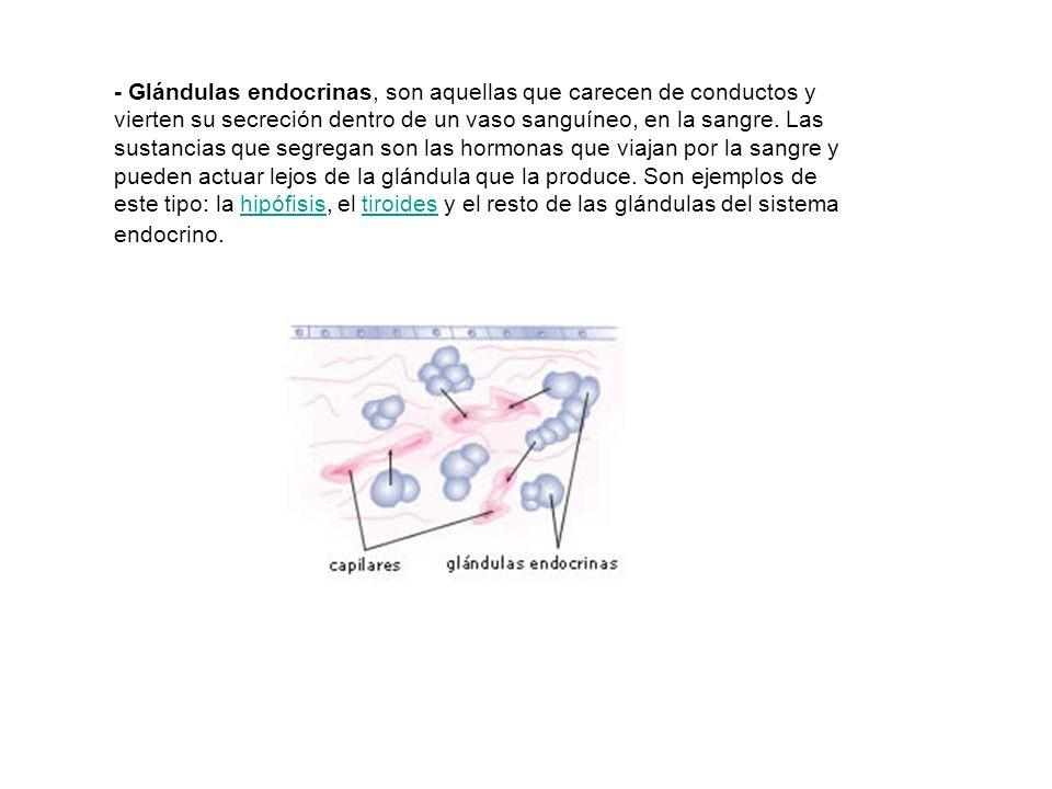 - Glándulas endocrinas, son aquellas que carecen de conductos y vierten su secreción dentro de un vaso sanguíneo, en la sangre.