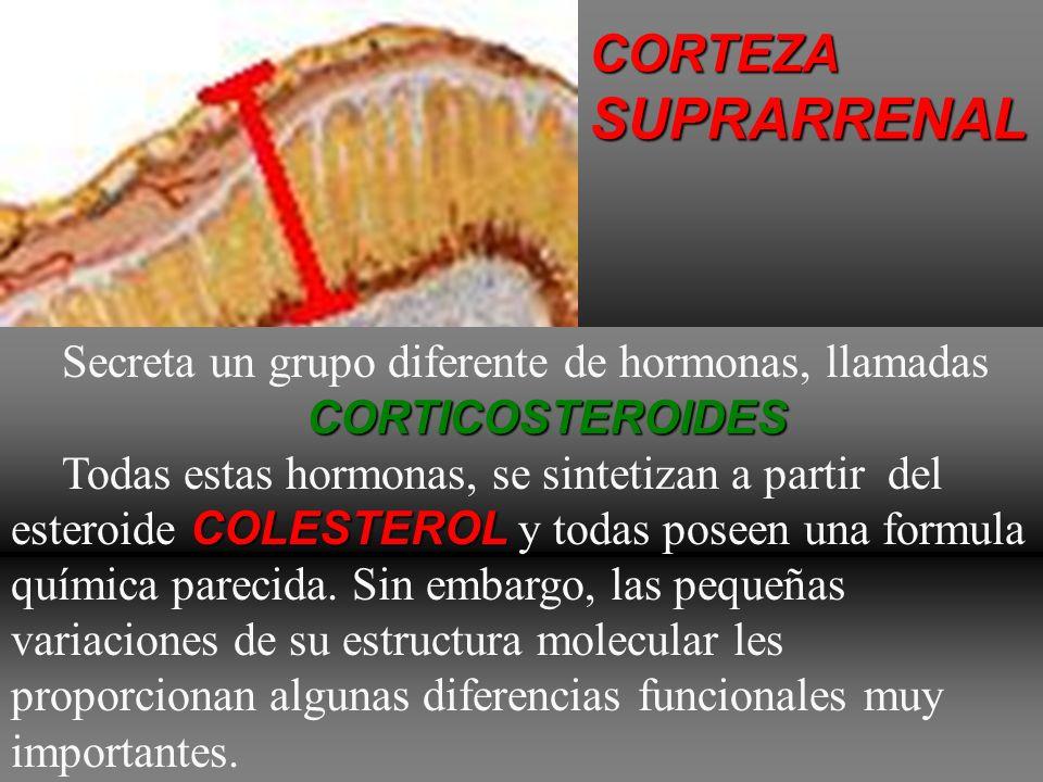 SUPRARRENAL CORTEZA Secreta un grupo diferente de hormonas, llamadas