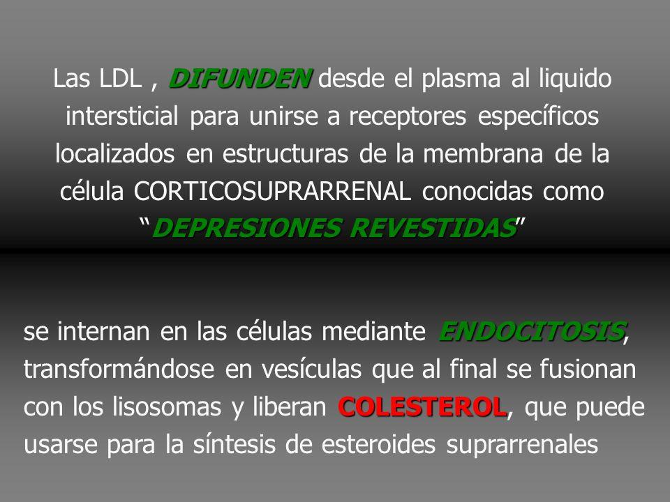 Las LDL , DIFUNDEN desde el plasma al liquido intersticial para unirse a receptores específicos localizados en estructuras de la membrana de la célula CORTICOSUPRARRENAL conocidas como DEPRESIONES REVESTIDAS