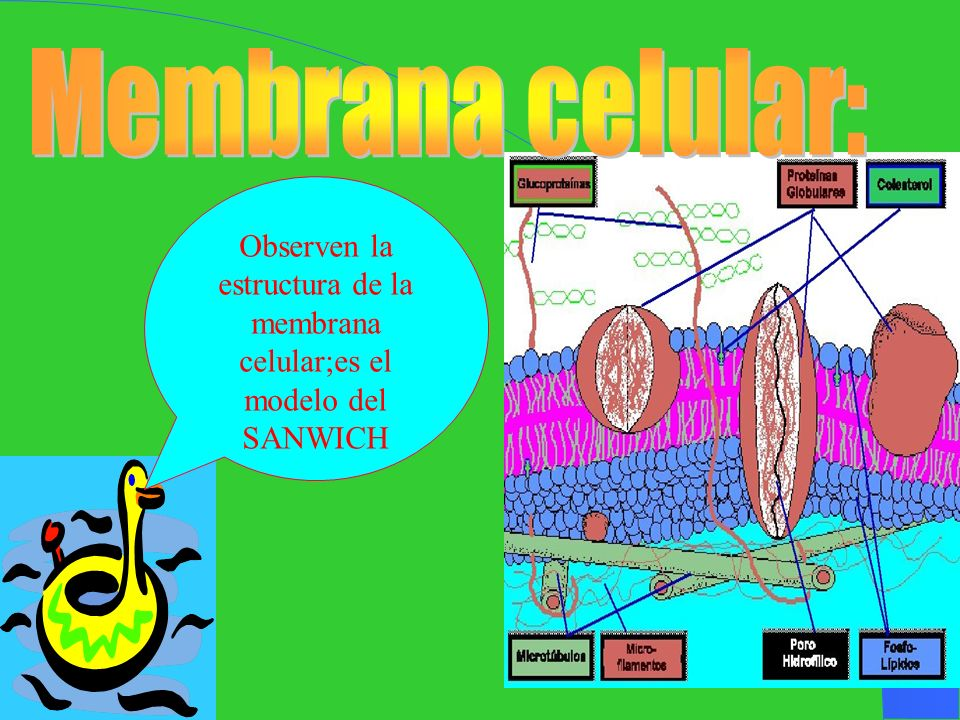 Observen la estructura de la membrana celular;es el modelo del SANWICH