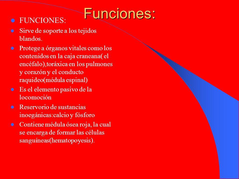 Funciones: FUNCIONES: Sirve de soporte a los tejidos blandos.