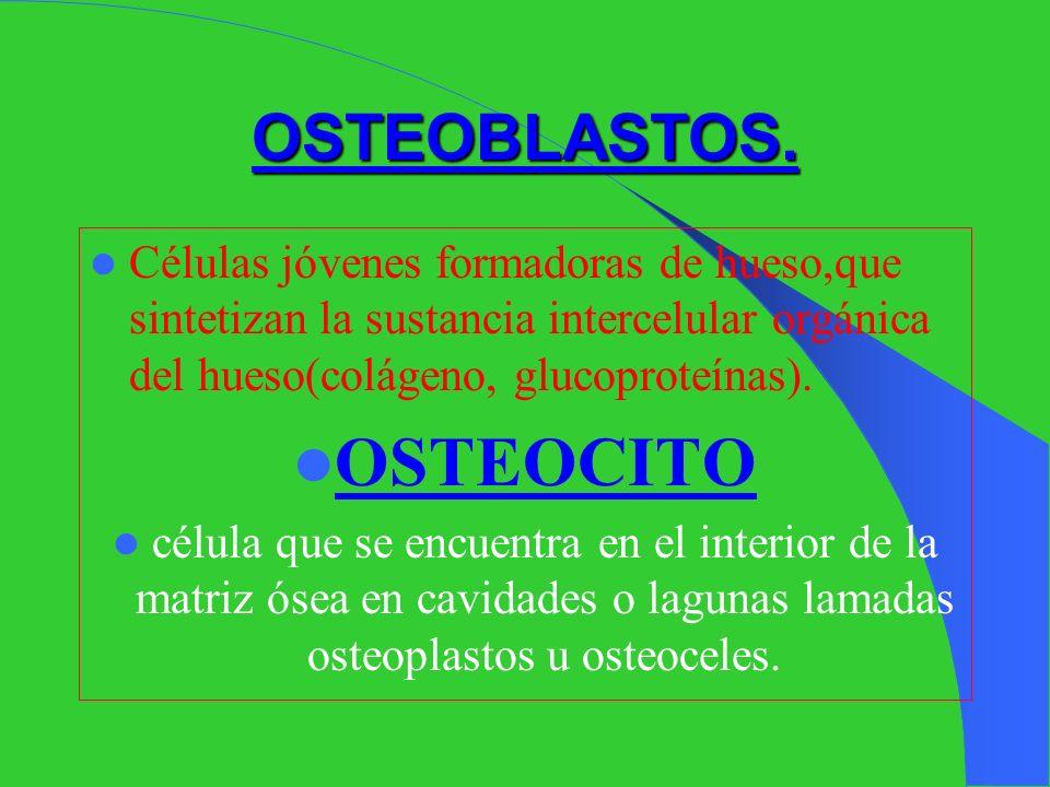 OSTEOCITO OSTEOBLASTOS.