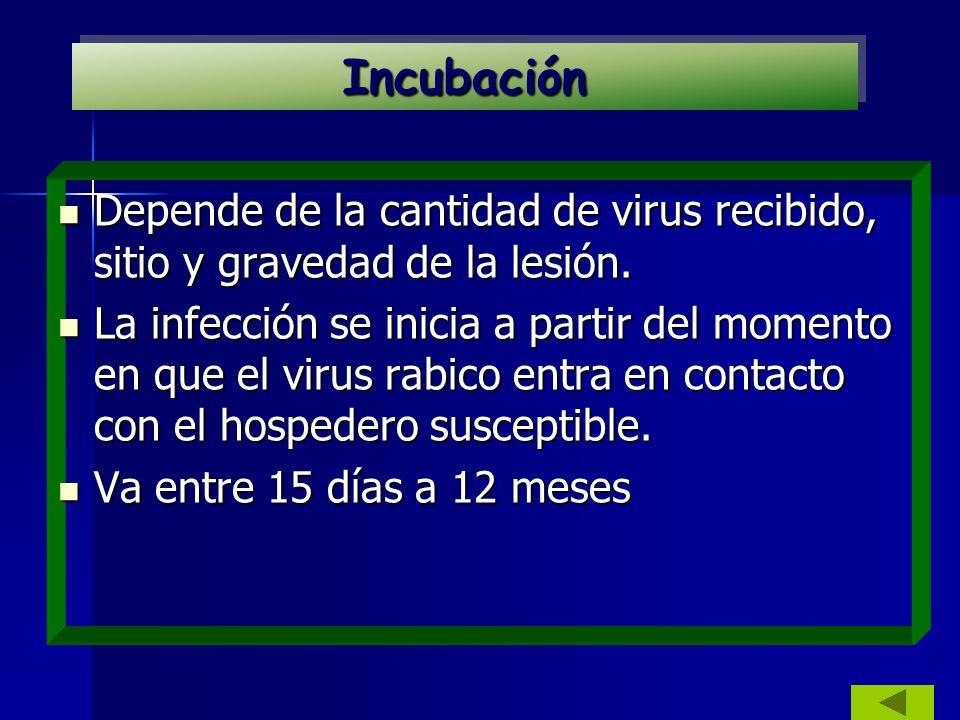 Incubación Depende de la cantidad de virus recibido, sitio y gravedad de la lesión.