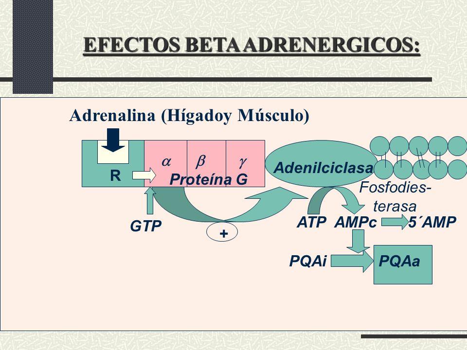 EFECTOS BETA ADRENERGICOS: