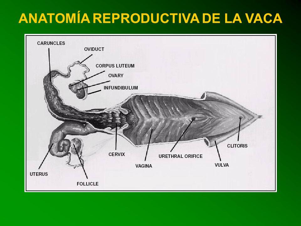 Lujo Anatomía Reproductiva Marsupial Friso - Anatomía de Las ...