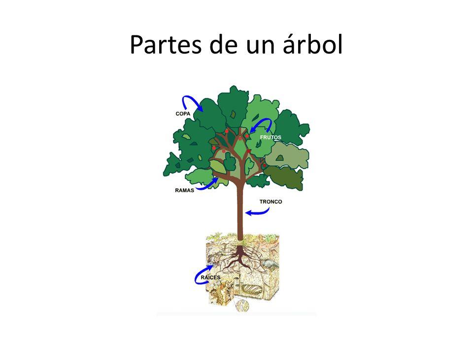 El rbol un ser vivo los rboles regeneran el aire son for Cuales son las partes de un arbol