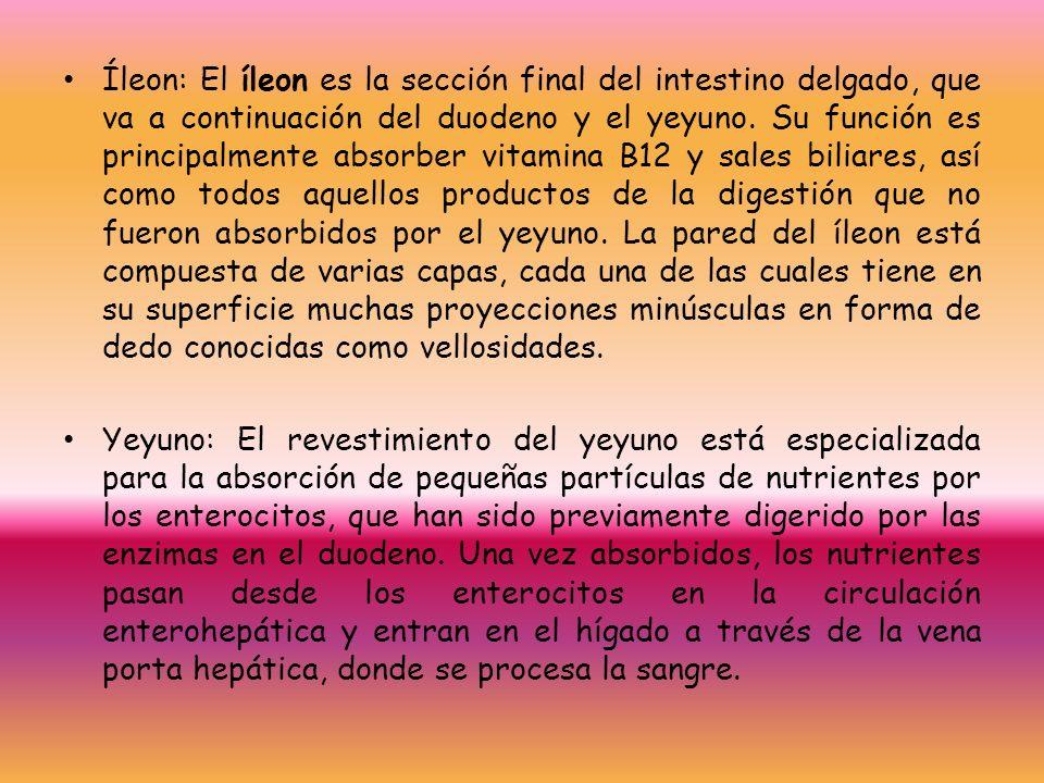 Hermosa Pequeña Yeyuno Intestino Inspiración - Anatomía de Las ...