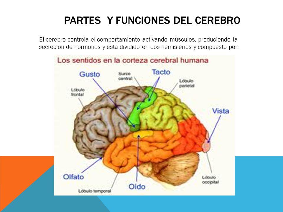 Moderno Diagrama De Cerebro Humano Y Las Funciones Cresta - Anatomía ...
