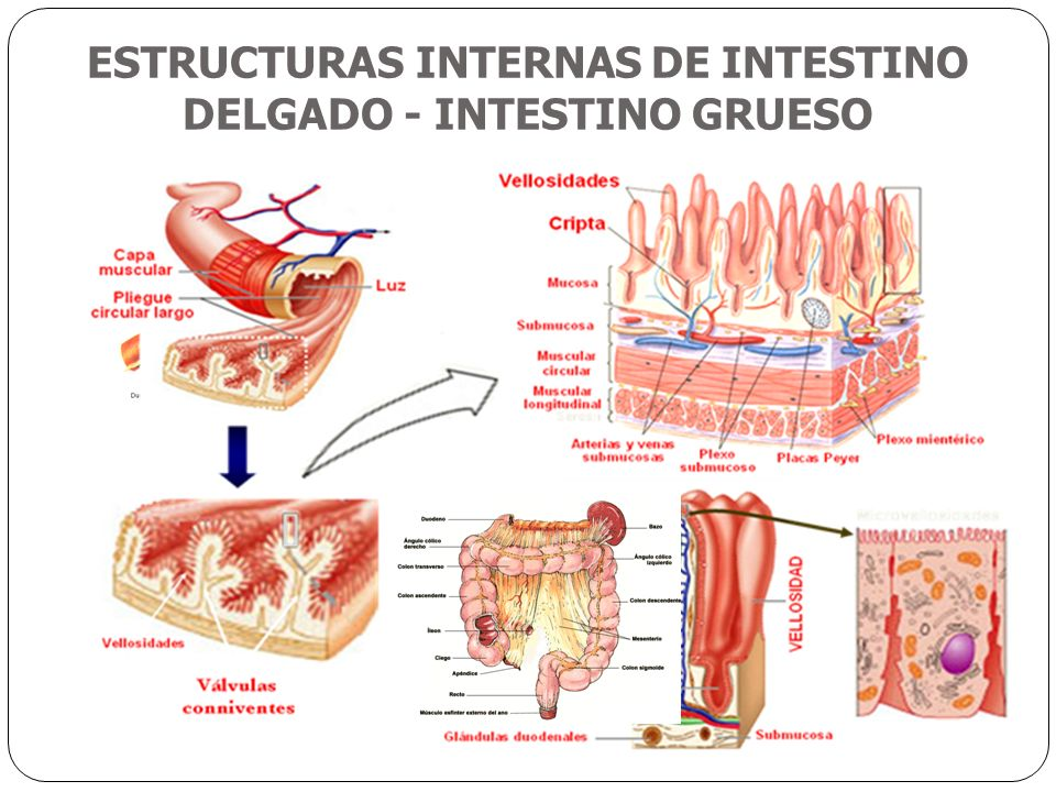 Hermosa Anatomía Del Intestino Grueso Y Delgado Imágenes - Anatomía ...