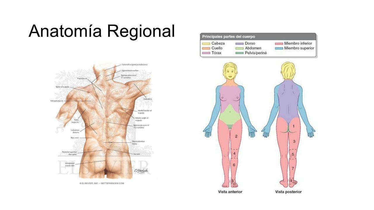 Excepcional Cuál Es La Anatomía Regional Embellecimiento - Anatomía ...