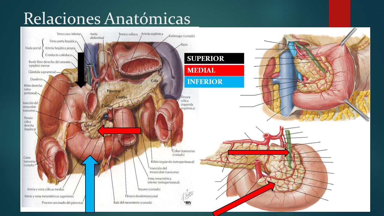 Fantástico Anatomía De La Glándula Adrenal Embellecimiento ...