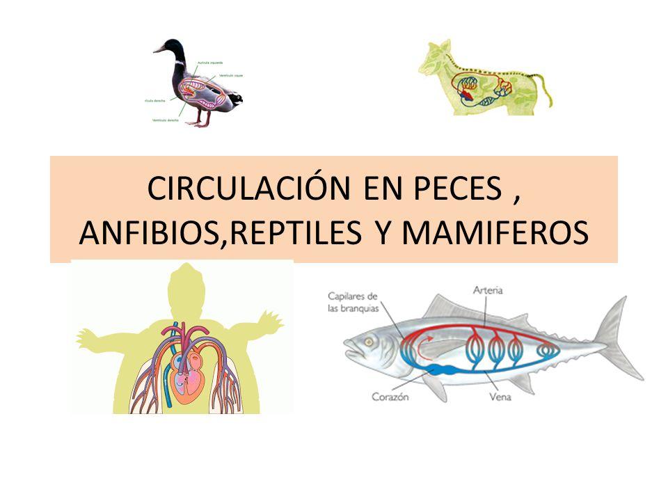 CIRCULACIÓN EN PECES , ANFIBIOS,REPTILES Y MAMIFEROS
