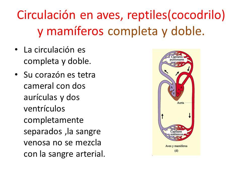 Circulación en aves, reptiles(cocodrilo) y mamíferos completa y doble.