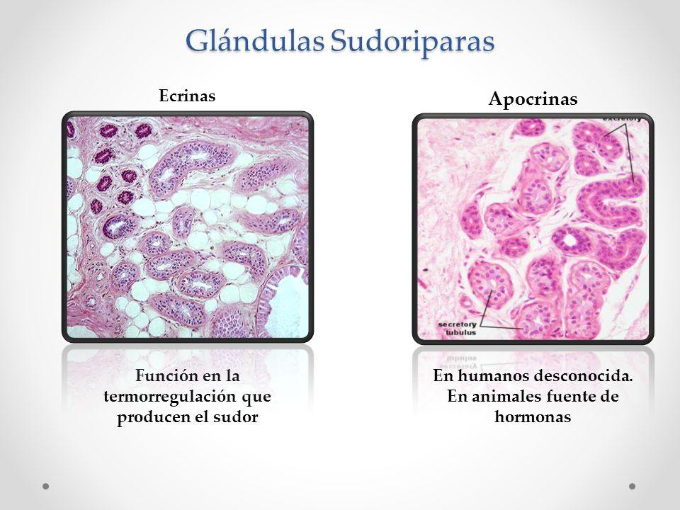 Lujo Las Glándulas Sudoríparas Ecrinas Imágenes - Anatomía de Las ...