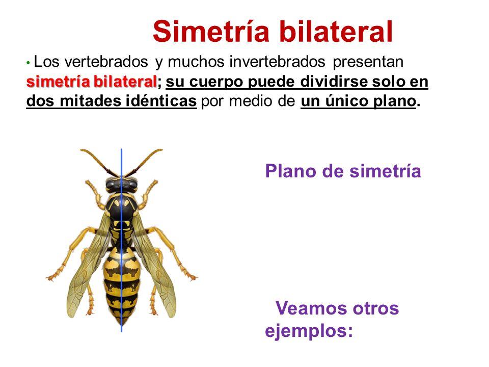 Simetría bilateral Plano de simetría Veamos otros ejemplos: