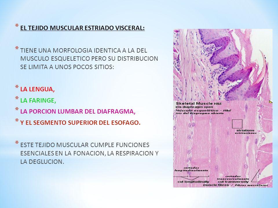 Contemporáneo Músculo Visceral Foto - Imágenes de Anatomía Humana ...