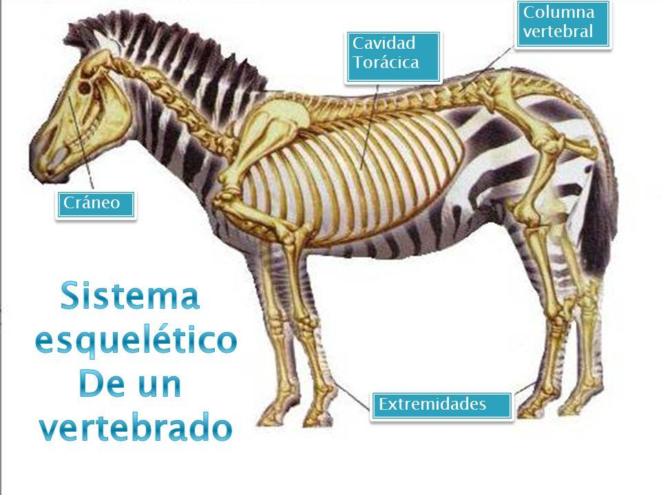 Sistema esquelético De un vertebrado