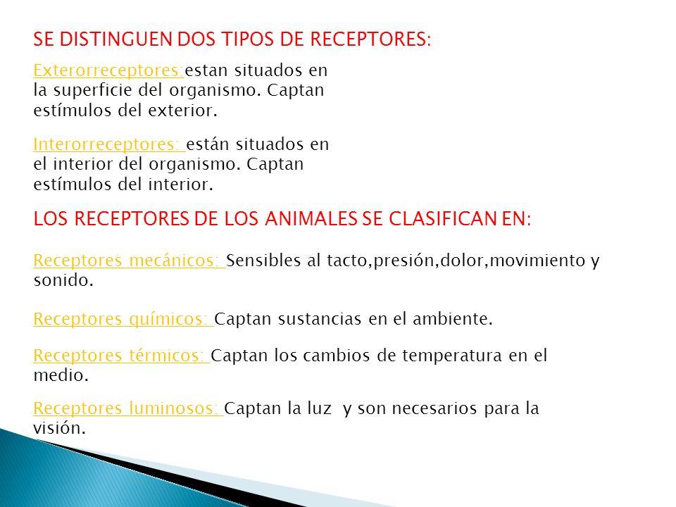 SE DISTINGUEN DOS TIPOS DE RECEPTORES: