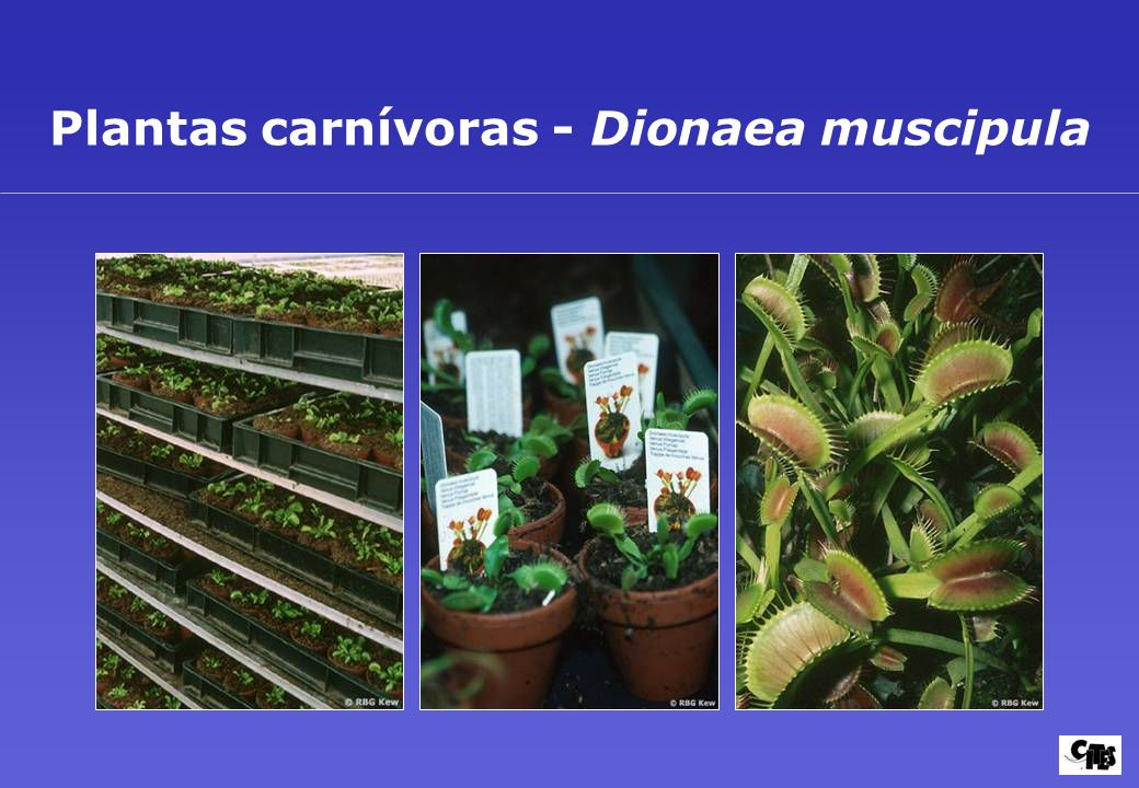 Plantas carnívoras - Dionaea muscipula
