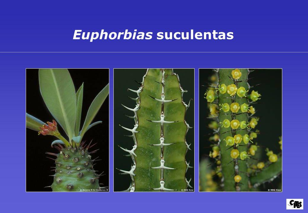 Euphorbias suculentas