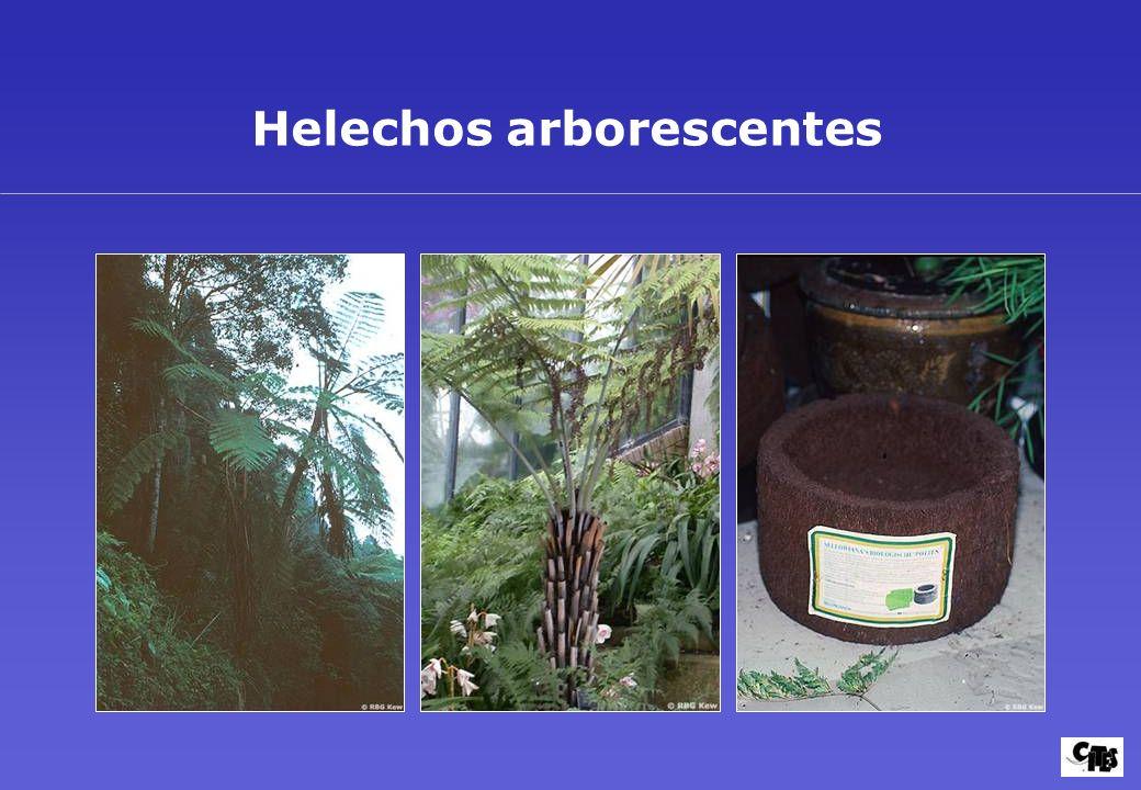 Helechos arborescentes